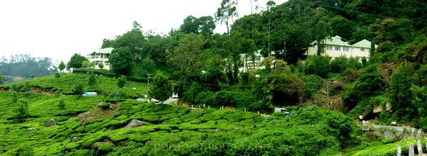 Way Through Tea Estate.