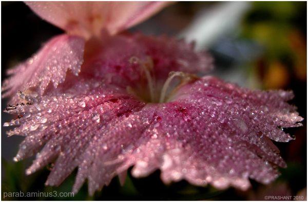 Pink Drops...