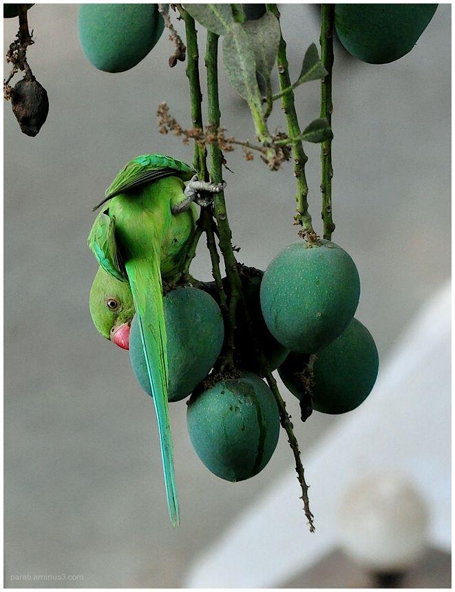 Raw Mangoes...1