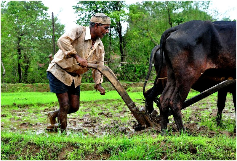 Ox Ploughing...2