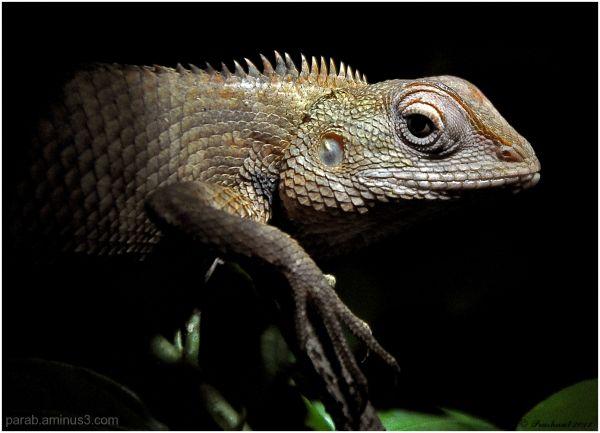 Indian Lizard.