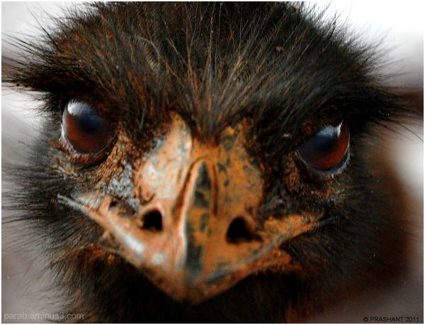 Emu...