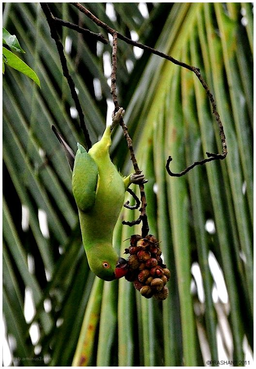 Hanging Parrot ..1
