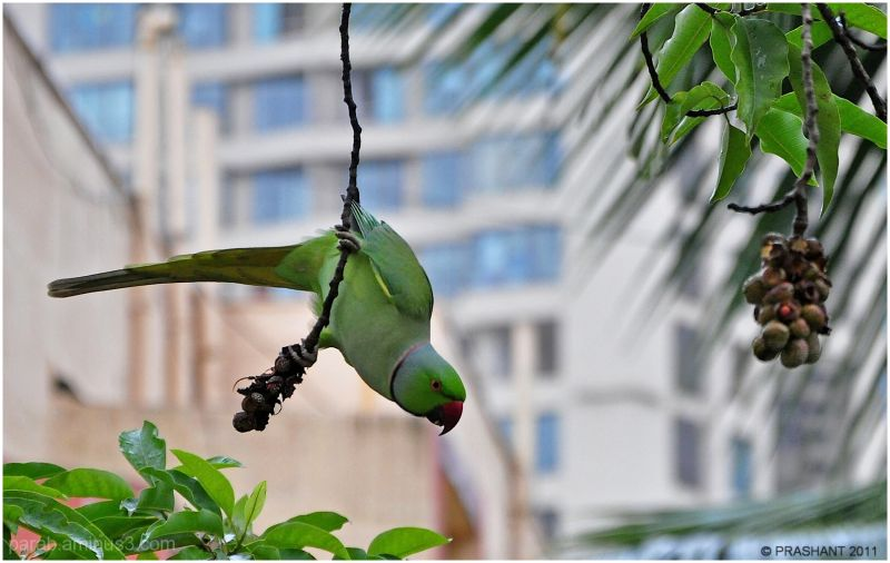 Hanging Parrot ..2