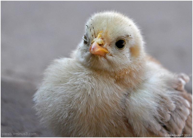 Chicken Little...2