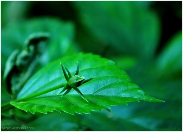Hibiscus Bud..