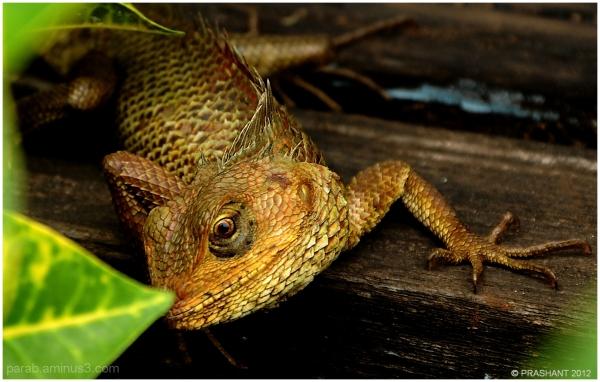 Indian Lizard...2