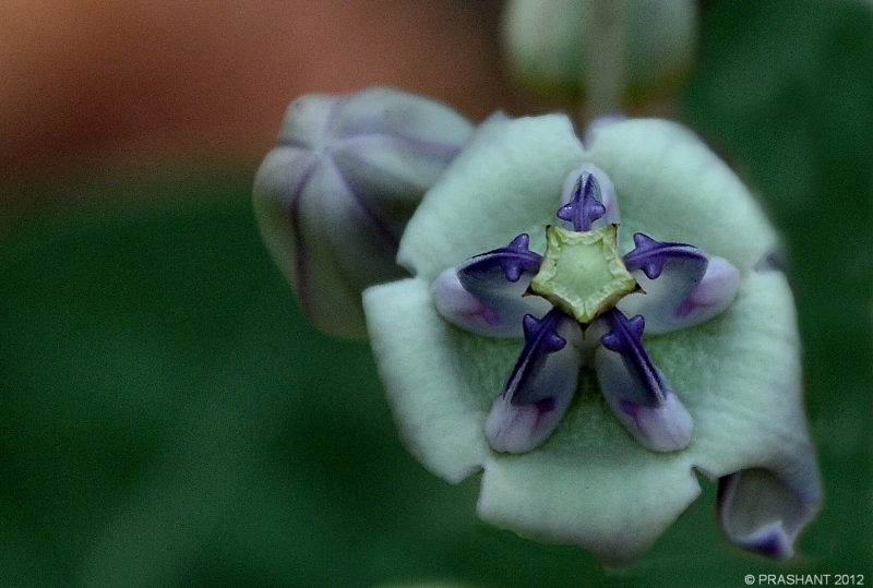 Flower & Bud...2