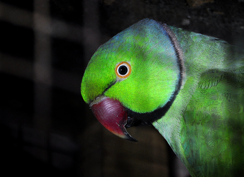 Rose-ringed Parakeet.
