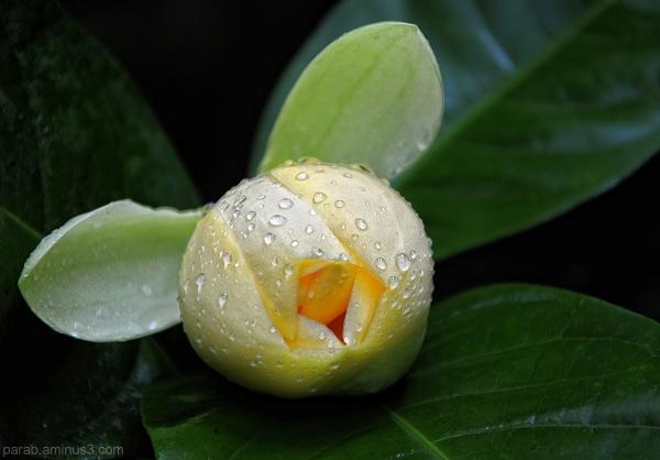 कवटी  चाफा ( kavati chafa Flower)