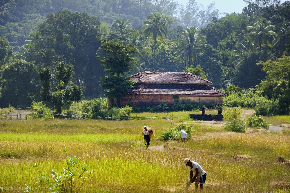 Rice Farm..1