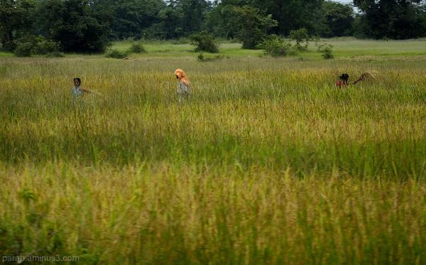 Rice Farm..