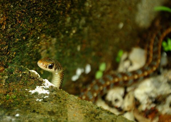 Small Snake.