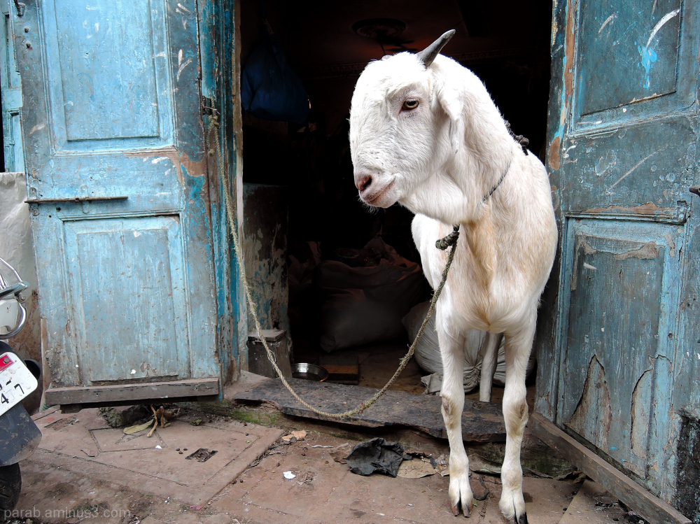Goat at door