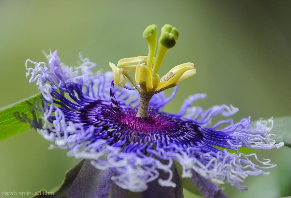 Passion flower (कृष्ण कमळ)