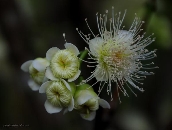 Water apple flower