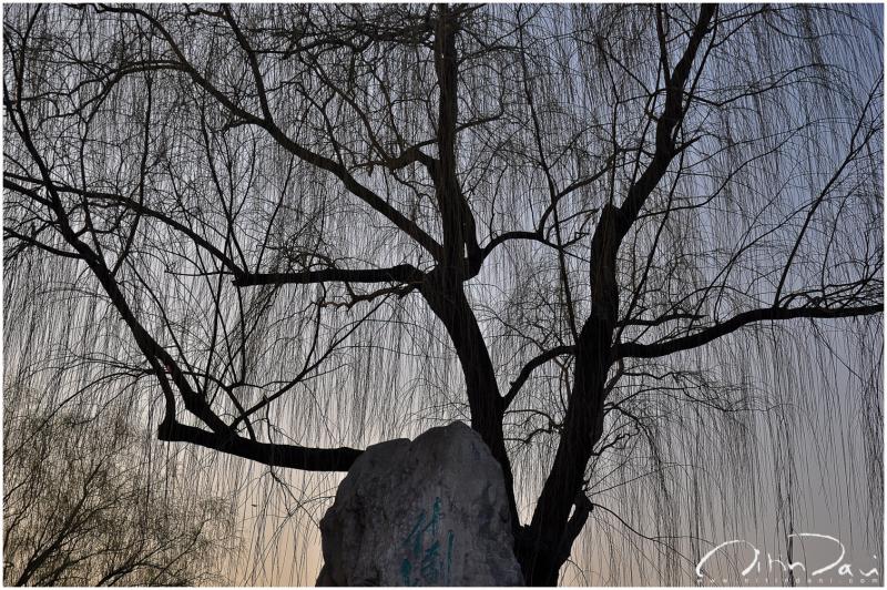 houhai lake, beijing, tree, weeping alders, dusk