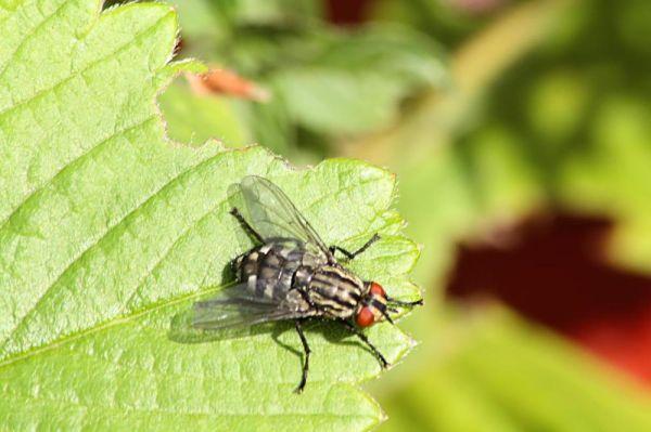 Strawberry Fly