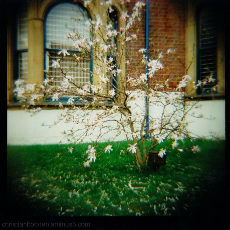 Cherry Blossom Lomograph