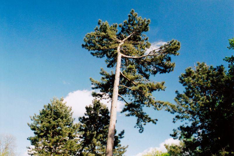 Pine Tree in Meanwood Park.