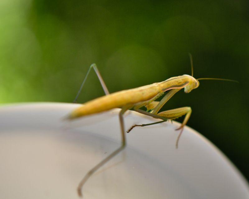praying mantis, close-up, insect