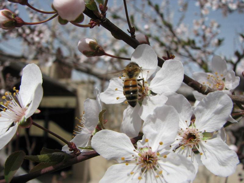 شکوفه و زنبور عسل