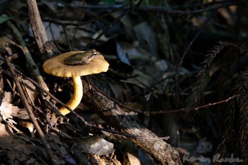 A frog resting on a mushroom