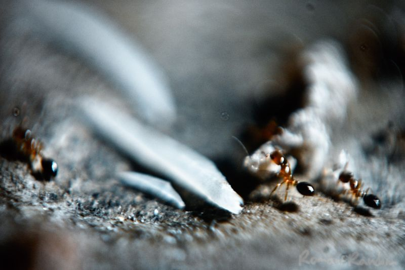 Ants eating skin