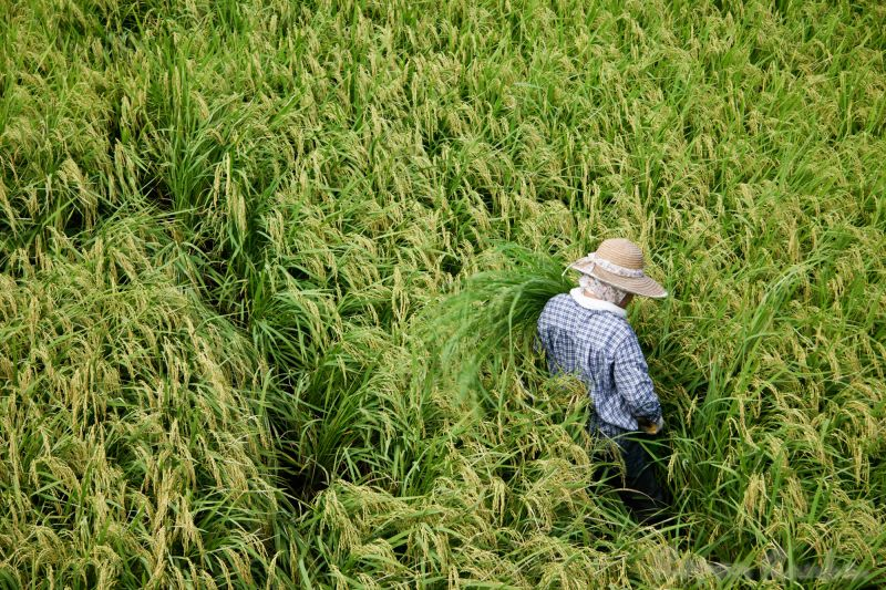A woman harvesting rice in a rice paddy