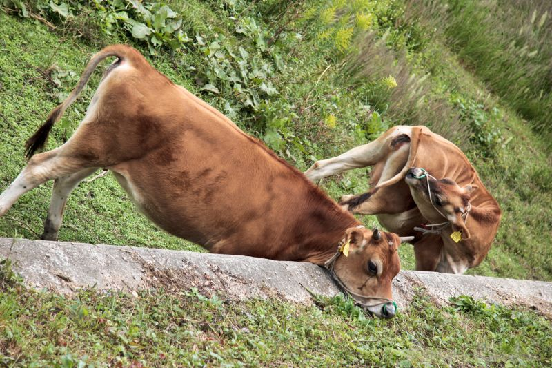 cows eating in comfortable positions