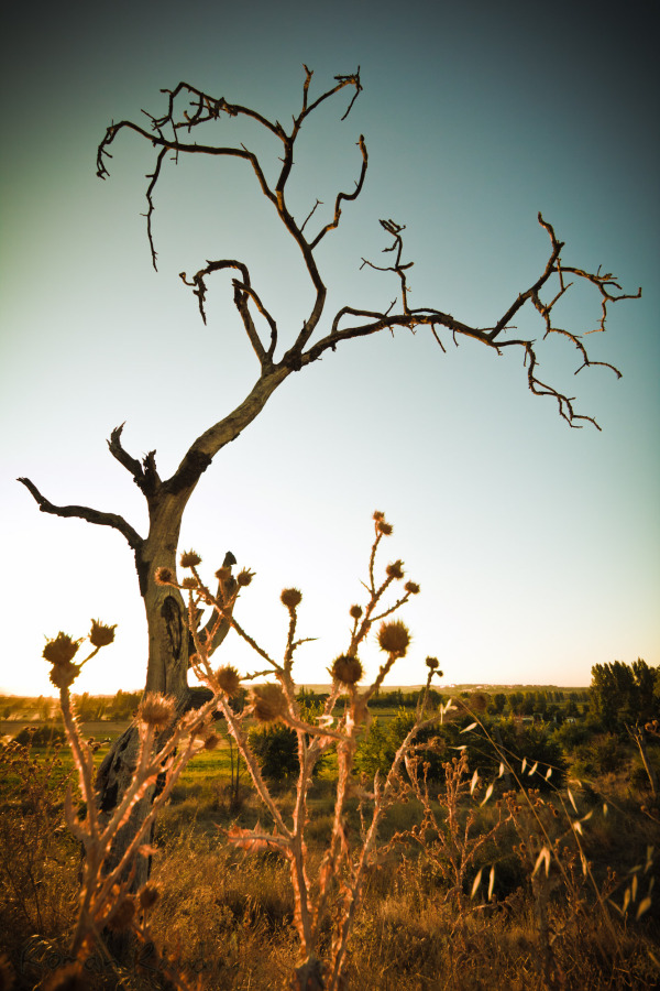 a dry old tree