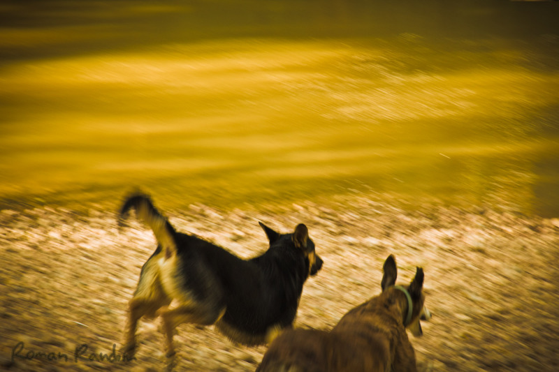 2 dogs running towards a river