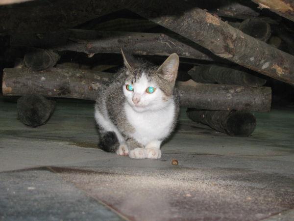 cat گربه