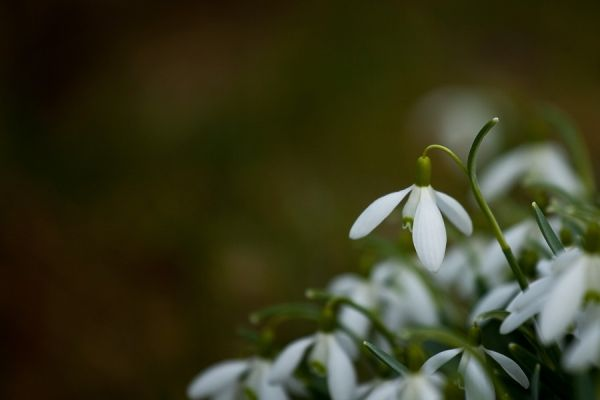Snowdrops along the road...