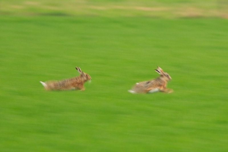 Flying Hares