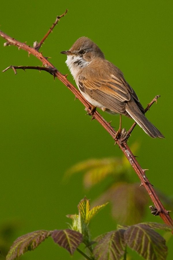 White-throat 1/3