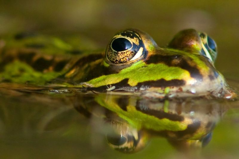 Frog in the water...