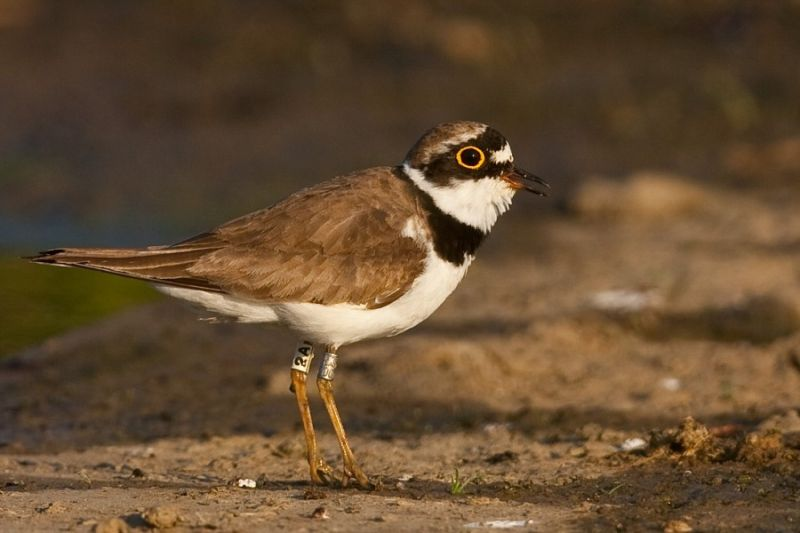 Small plover