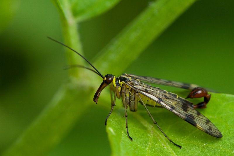 Scorpion fly...