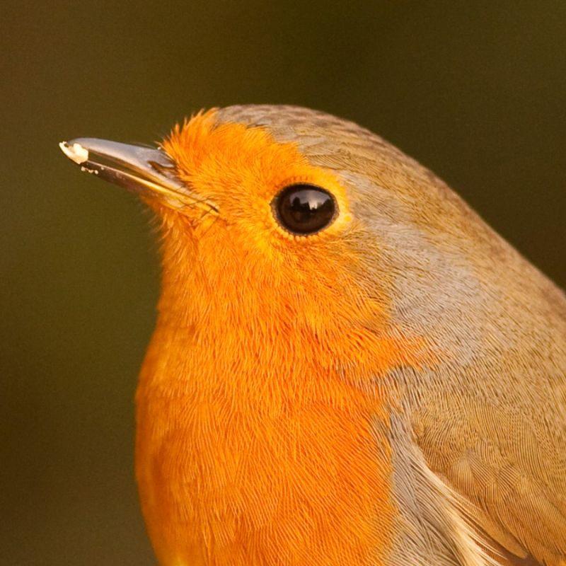 Portrait of a Robin...