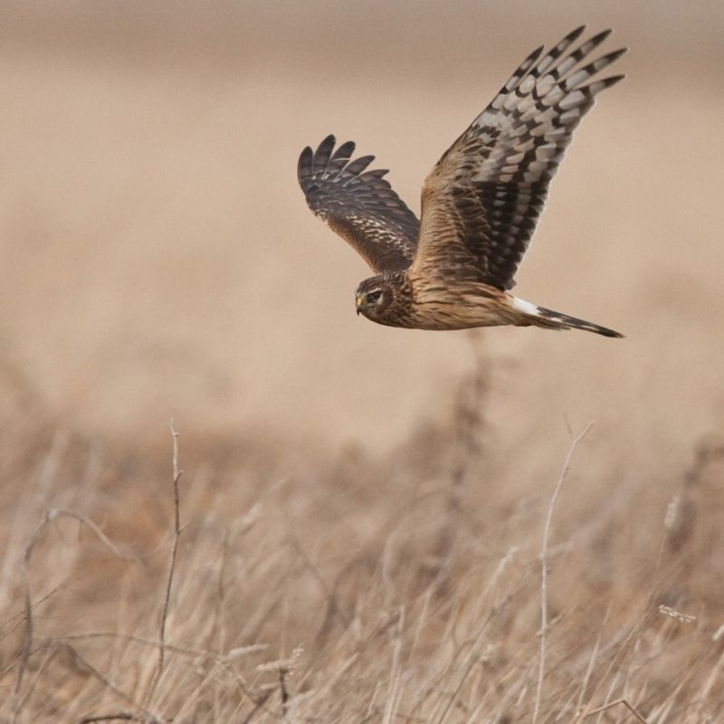 Hen Harrier...