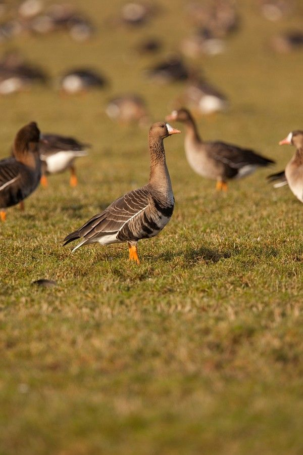 Geese and the movie...
