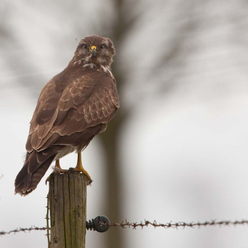 Buzzard (3/4)...What are you doing on the ground?.
