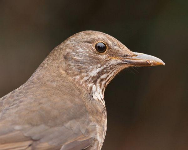Blackbird female...