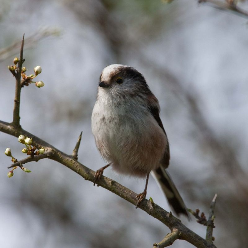 Long-tailed Tit (1/2)...