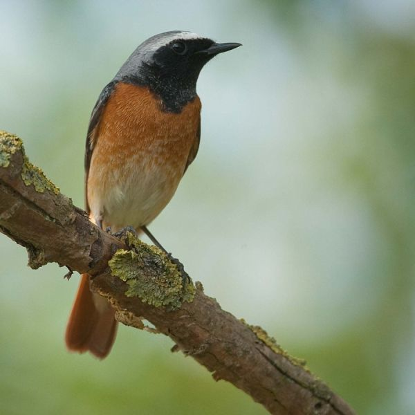 Common redstart (male)...