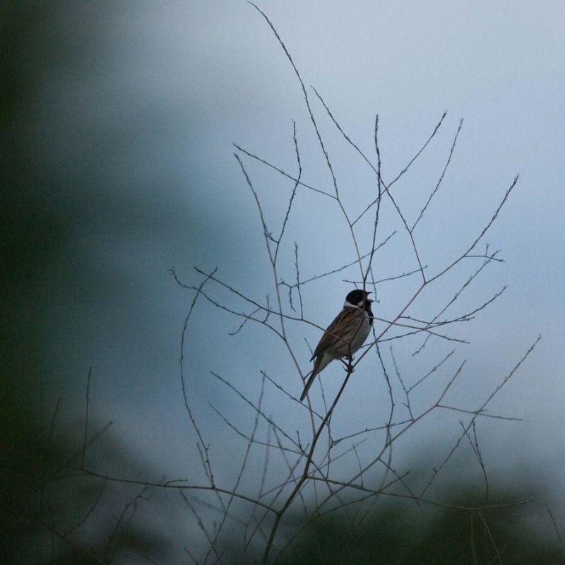 Singing his morning song...