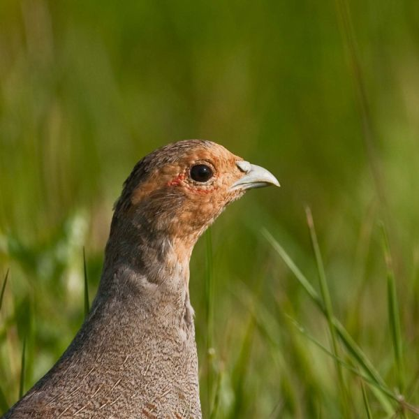 Portrait of a Partridge...