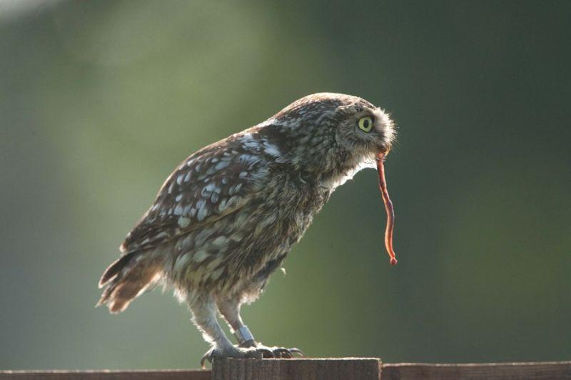Screech owl (1/2)...Jummie...