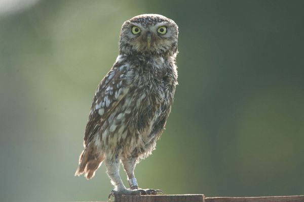 Screech owl (2/2)...Who are you?...